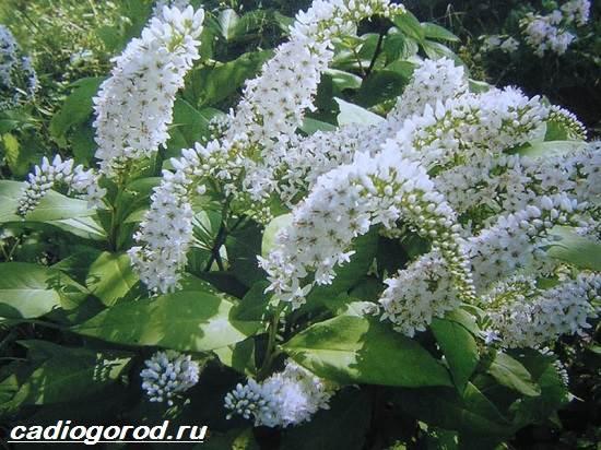 Вербейник-растение-Описание-особенности-виды-и-уход-за-вербейником-13