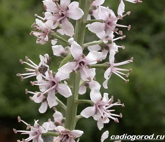 Вербейник-растение-Описание-особенности-виды-и-уход-за-вербейником-14