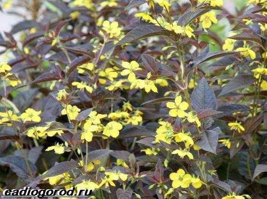 Вербейник-растение-Описание-особенности-виды-и-уход-за-вербейником-5