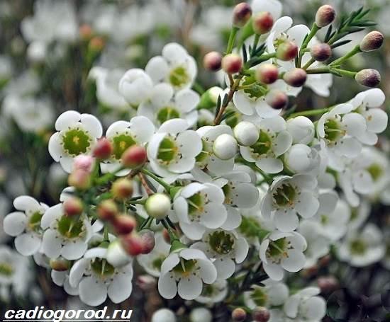 Хамелациум-цветок-Описание-особенности-виды-и-уход-за-хамелациумом-3