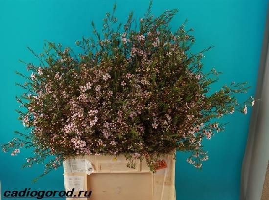 Хамелациум-цветок-Описание-особенности-виды-и-уход-за-хамелациумом-8