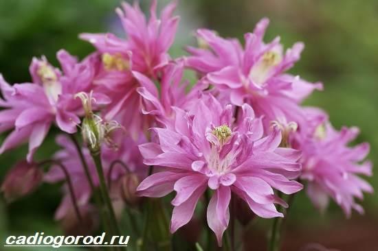 Цветок аквилегия посадка и уход, фото, выращивание из семян 95
