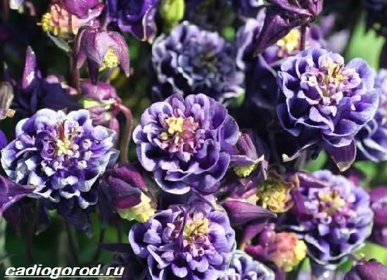 Цветок аквилегия посадка и уход, фото, выращивание из семян 45
