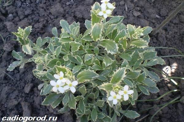 Арабис-цветок-Описание-особенности-виды-и-уход-за-арабисом-6