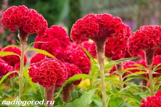 Целозия-цветы-Описание-особенности-виды-и-уход-за-целозией-5