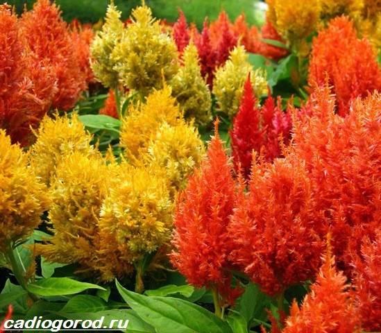 Целозия-цветы-Описание-особенности-виды-и-уход-за-целозией-6