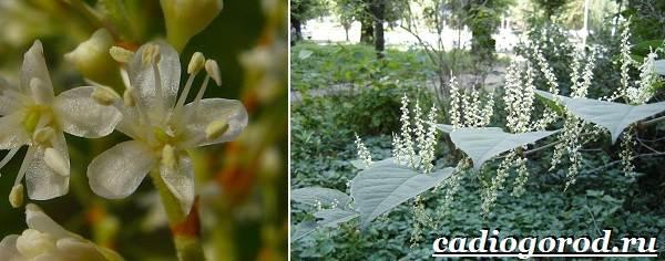 Черная-книга-растений-Растения-занесённые-в-чёрную-книгу-3