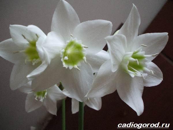 Эухарис-цветок-Описание-особенности-виды-и-уход-за-эухарисом-6