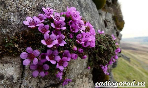 Камнеломка-цветок-Описание-особенности-виды-и-уход-за-камнеломкой-1