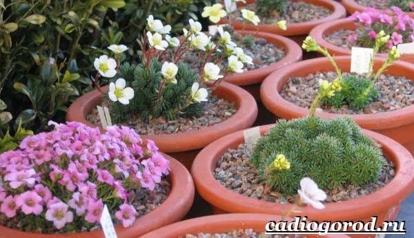 Камнеломка-цветок-Описание-особенности-виды-и-уход-за-камнеломкой-13
