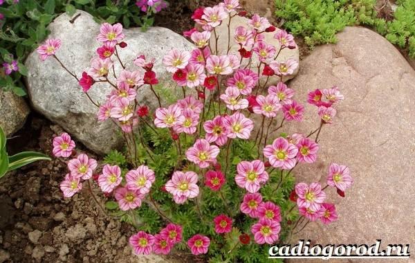 Камнеломка-цветок-Описание-особенности-виды-и-уход-за-камнеломкой-23