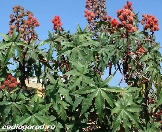 Клещевина-растение-Описание-особенности-виды-и-уход-за-клещевиной-5