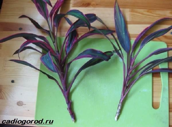 Кордилина-цветок-Описание-особенности-виды-и-уход-за-кордилиной-10