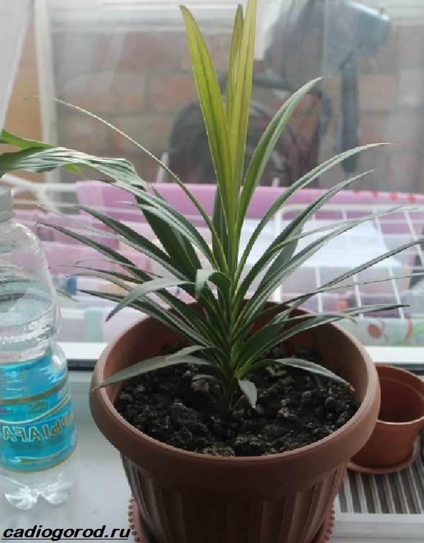Кордилина-цветок-Описание-особенности-виды-и-уход-за-кордилиной-6