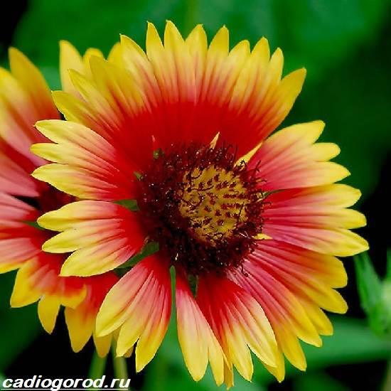 Кореопсис-цветок-Описание-особенности-виды-и-уход-за-кореопсисом-1
