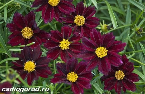 Кореопсис-цветок-Описание-особенности-виды-и-уход-за-кореопсисом-11
