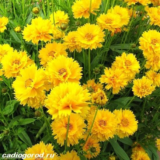 Цветы кореопсис фото посадка и уход