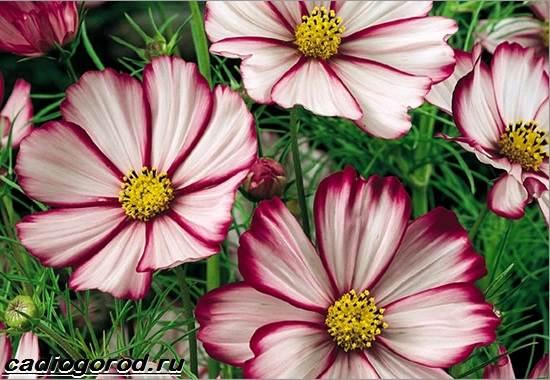 Космея цветы описание и 16