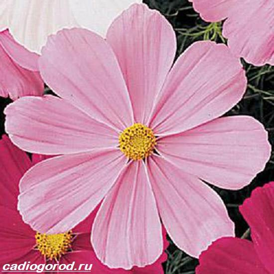 Космея цветы описание и 4