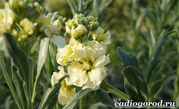 Левкой-цветок-Описание-особенности-виды-и-уход-за-левкоем-13