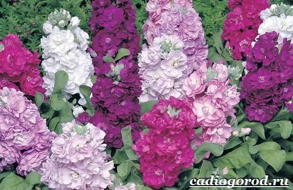 Левкой-цветок-Описание-особенности-виды-и-уход-за-левкоем-2