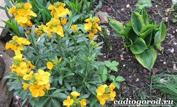 Левкой-цветок-Описание-особенности-виды-и-уход-за-левкоем-7
