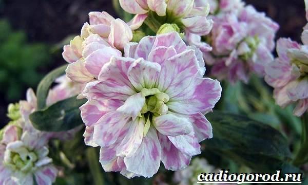 Левкой-цветок-Описание-особенности-виды-и-уход-за-левкоем