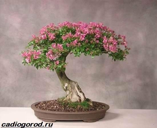 Мирт-цветок-Описание-особенности-виды-и-уход-за-миртом-3