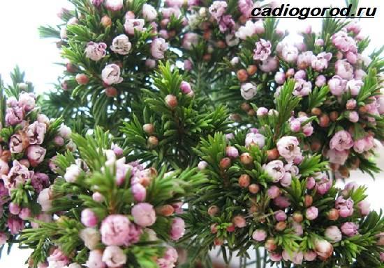 Мирт-цветок-Описание-особенности-виды-и-уход-за-миртом-6