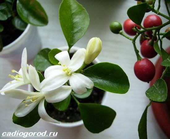 Мурайя-цветок-Описание-особенности-виды-и-уход-за-мурайей-5