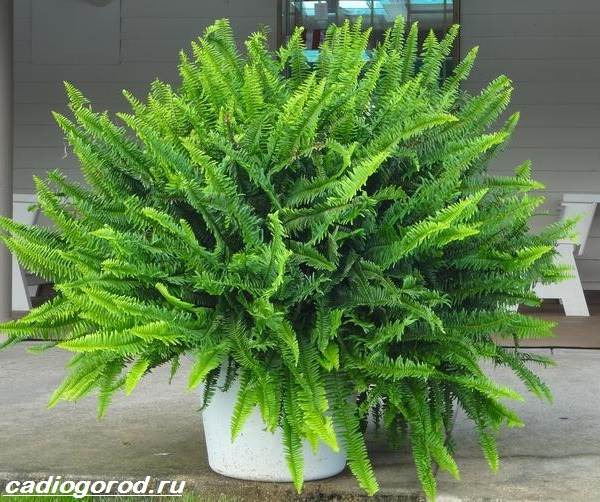 Нефролепис-папоротник-растение-Описание-особенности-виды-и-уход-за-нефролеписом-2