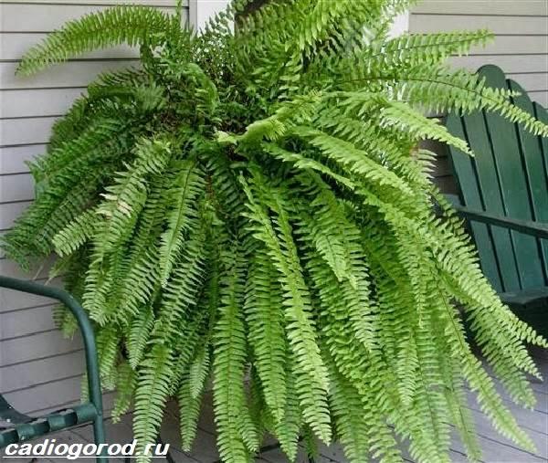 Нефролепис-папоротник-растение-Описание-особенности-виды-и-уход-за-нефролеписом-4