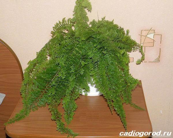 Нефролепис-папоротник-растение-Описание-особенности-виды-и-уход-за-нефролеписом-5