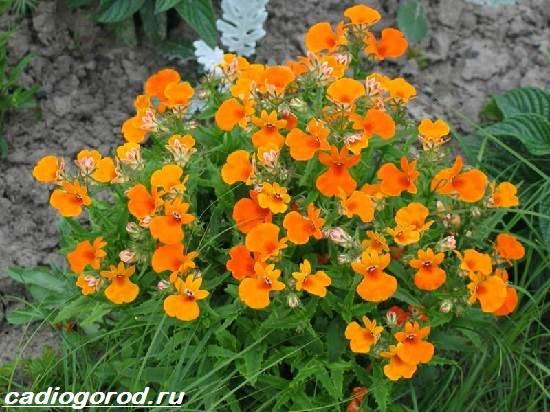 Немезия-цветок-Описание-особенности-виды-и-уход-за-немезией-10