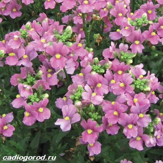 Немезия-цветок-Описание-особенности-виды-и-уход-за-немезией-9