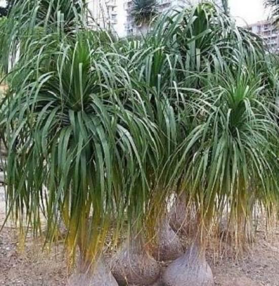 Нолина-дерево-Описание-особенности-виды-и-уход-за-нолиной-1