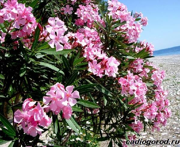 Олеандр-цветок-Описание-особенности-виды-и-уход-за-олеандром-5