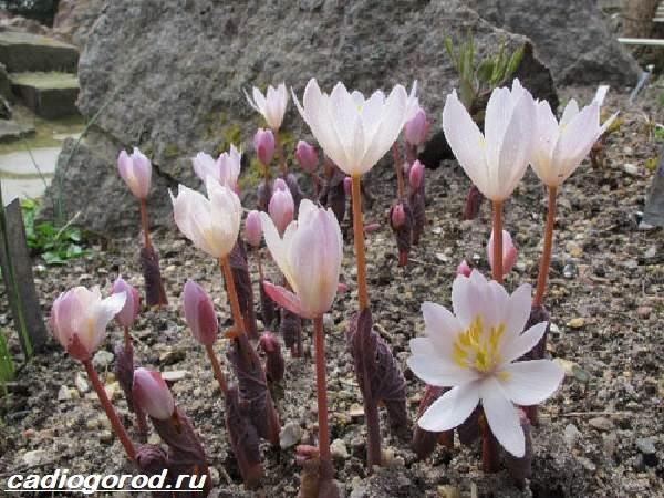 Сангвинария-цветок-Описание-особенности-виды-и-уход-за-сангвинарией-4