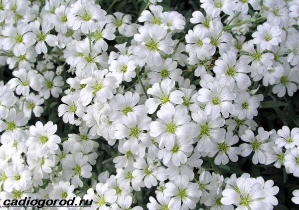 Ясколка-войлочная-цветок-Описание-особенности-виды-и-уход-за-ясколкой-войлочной-3