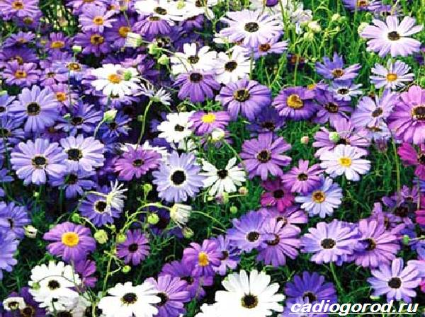 Брахикома-цветы-Описание-особенности-виды-и-уход-за-брахикомой-10