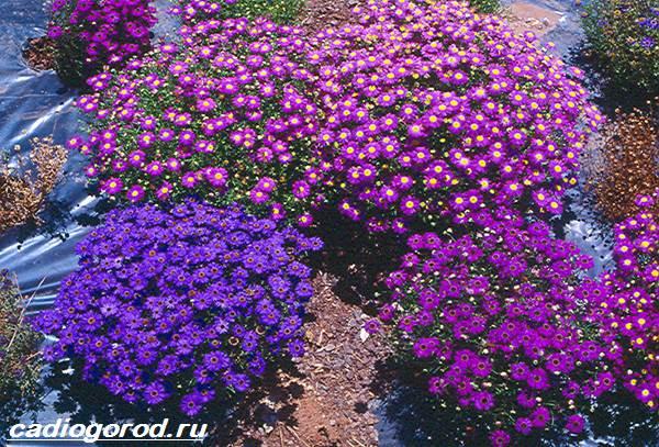 Брахикома-цветы-Описание-особенности-виды-и-уход-за-брахикомой-4