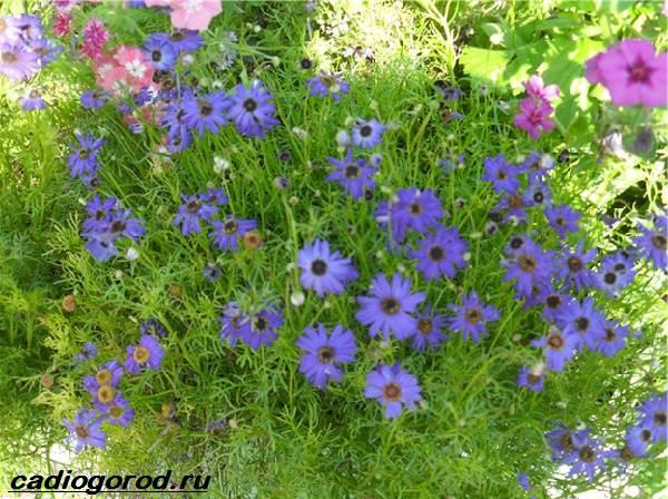 Брахикома-цветы-Описание-особенности-виды-и-уход-за-брахикомой-6
