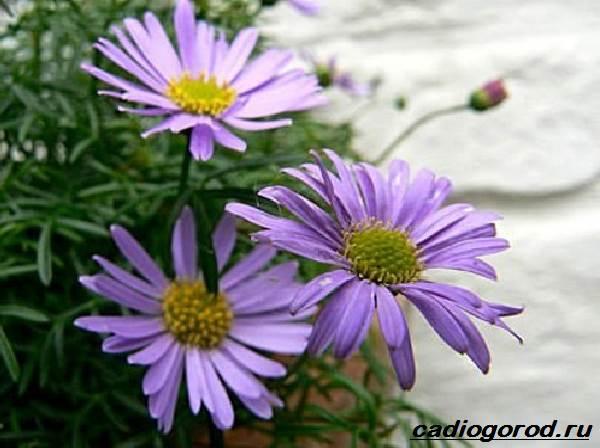 Брахикома-цветы-Описание-особенности-виды-и-уход-за-брахикомой-8
