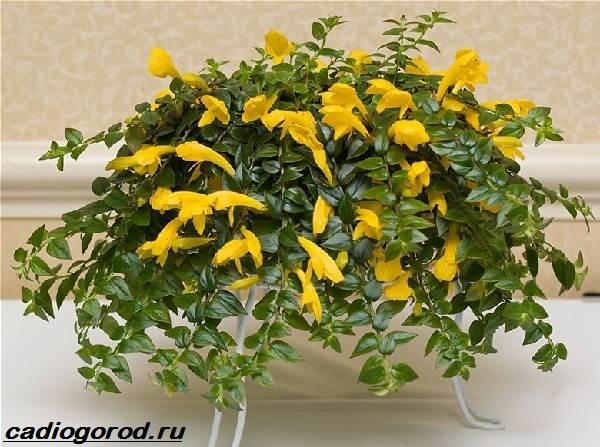 Эсхинантус-цветок-Описание-особенности-виды-и-уход-за-Эсхинантусом-9