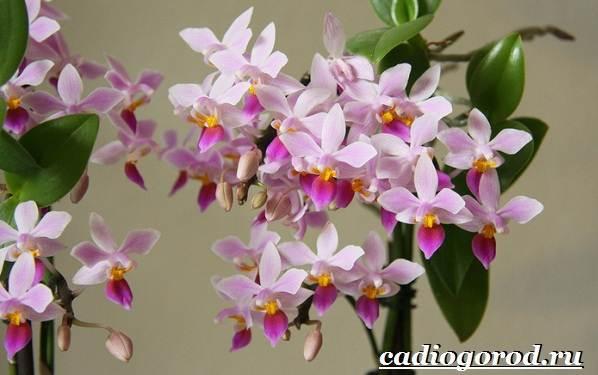 Фаленопсис-цветок-Описание-особенности-виды-и-уход-за-фаленопсисом-18