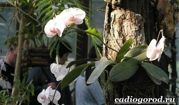 Фаленопсис-цветок-Описание-особенности-виды-и-уход-за-фаленопсисом-2
