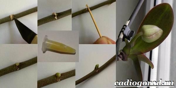 Фаленопсис-цветок-Описание-особенности-виды-и-уход-за-фаленопсисом-8