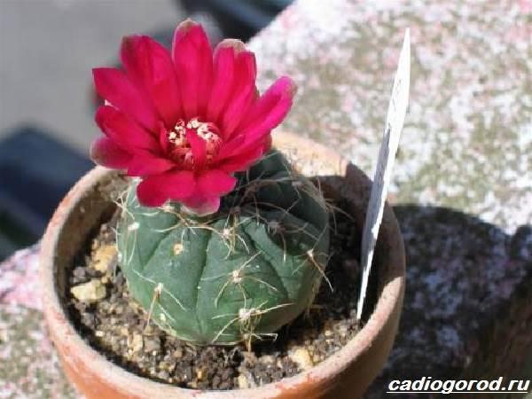 Гимнокалициум-цветок-Описание-особенности-виды-и-уход-за-гимнокалициумом-1