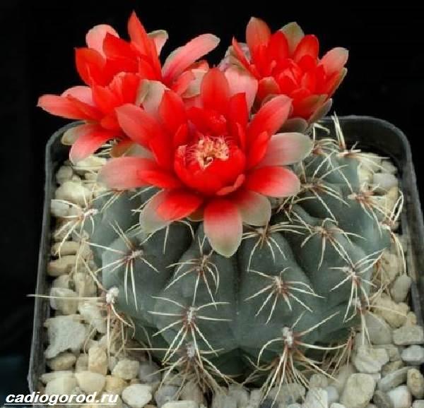 Гимнокалициум-цветок-Описание-особенности-виды-и-уход-за-гимнокалициумом-8