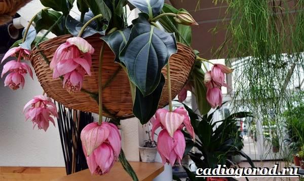 Мединилла-цветок-Описание-особенности-виды-и-уход-за-Мединиллой-25